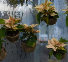 Adorable Miniature Poinsettias Window Display Sticker