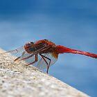 Dragonfly by westie71