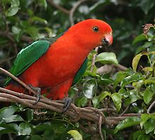 Australian King Parrot by Jade Welch