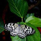 Tree Nymph Butterfly by Glennis  Siverson
