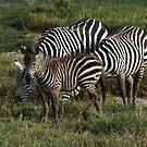 Zebra's in Africa 2014 by Maureen Clark