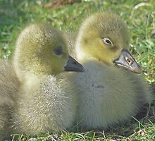 Gosling Siblings by AARDVARK