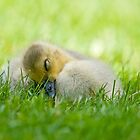 Sleeping Gosling by Michael Cummings