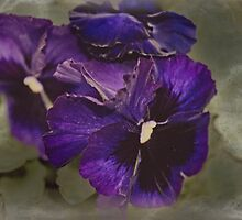 Pansies by designingjudy