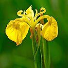 Yellow Iris, (Iris pseudacorus) by Rod Johnson