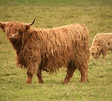 Scottish Highland cow and her calf by ljm000