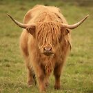 Highland Cow in Scotland by Linda More