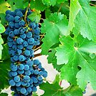 Grapes by Carrie Norberg