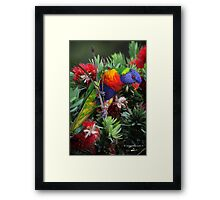 Lorikeet playing and tasting the nectar Framed Print