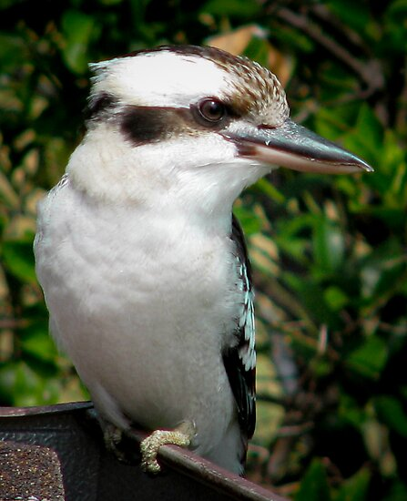 Kookaburra on my Roof by Sue  Fellows