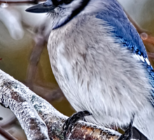 Blue Jay on Ice Covered Branch - Ottawa, Ontario Sticker