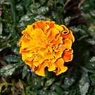 White Crab Spider and Marigold by Wanda  Mascari