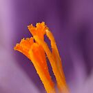 Crocus by Classicperfection