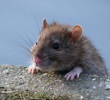 Ratty!!!! by Sharon Perrett