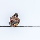 Kestrel Falcon by Thomas Young