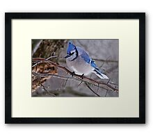 Blue Jay in Tree - Ottawa, Ontario Framed Print