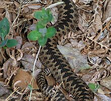 An Adder by Sharon Perrett