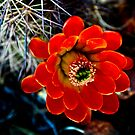 Brilliant Mini Cactus  by David DeWitt