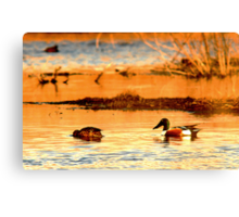 Northern Shoveler Ducks Canvas Print