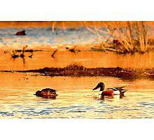 Northern Shoveler Ducks Photographic Print