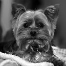 Yorkie - Black & White by Ryan Houston