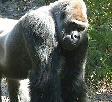 Gorilla by OnTheRoadAgain