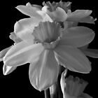 Black and White Daffodills by Steve plowman