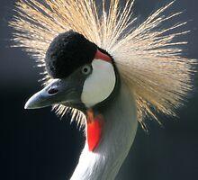 Grey Crowned Crane by Linda More