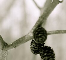 petite pinecones by lucamaphoto