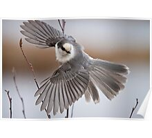 Gray Jay Take Off Poster