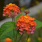 Orange, Yellow, and Pink Lantana by Scott Mitchell
