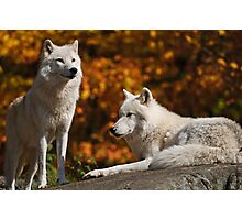 Arctic Wolves Photographic Print