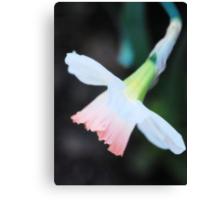 Delicate Daffodil Canvas Print