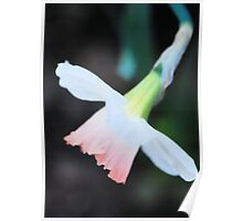 Delicate Daffodil Poster