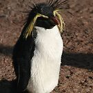Rockhopper penguin  by Linda More
