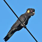 Yellow Tailed Black Cockatoo by Leeo
