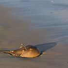 Horseshoe Crab by John Wright
