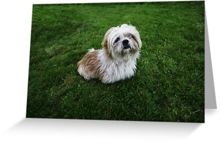 Cute Shih Tzu in the grass by Donncha O Caoimh