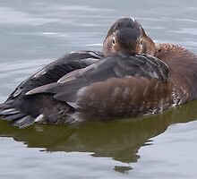 A Pochard by AARDVARK