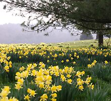 Daffodil Fields by xPressiveImages