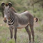 Zebra  by Holly Michelle Garland