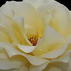 Cream Rose by KJREAY