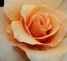 Apricot Rose by KJREAY