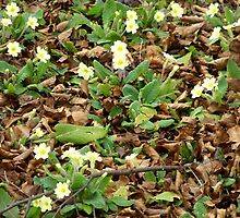 Primroses Whitworth Park by Barry Norton