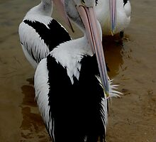 Pelicans III by Ashley Ng