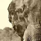 Bull elephant  by amjaywed