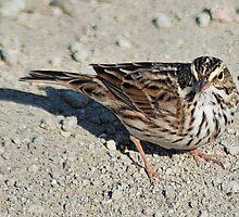 Savannah Sparrow 2 by Lenny La Rue, IPA