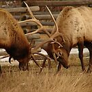 Elk Fight 1 by Melissa  Hintz