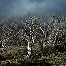 Snow gum by BrainCandy