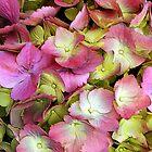 Hydrangea by Kathleen Struckle